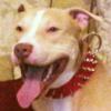 #dog #pitbull #spike #collor #犬 #ピットブル #スパイク #首輪 #赤