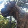 #bull mastiff #ringchoke #traning #bigdog #ブルマスティフ #大型犬 #チョークチェーン #躾