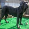 #neapolitan mastiff #ringchoke #chokechain #big dog #ナポリタンマスティフ #リングチョーク #大型犬 #