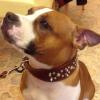 #dog #staffy #犬 #スタッフィー #レザー #首輪 #スパイク #スタッズ