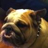 #dog #bulldog #spikecollor #犬 #ブルドック #スパイク #首輪 #レザー