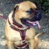 #dog #mastiff #レザー #ハーネス #大型犬 #マスティフ