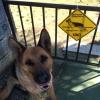 #dog #germanshepherd #xing #signboard #犬 #ジャーマンシェパード #看板 #アメリカン