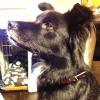 #dog #mix #black #犬 #雑種 #レザー #首輪