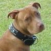 #dog #pitbull #spike #leather #首輪 #犬 #ピットブル #クリスタル #スパイク #スタッズ #首輪
