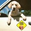 #golden #ゴールデン #magnet #car #カーマグネット #dog #犬