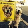 #golden retriver #crossing #signboard #ゴールデンレトリバー #サインボード #看板