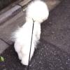 #bichon frise #show lead #dogwalk #ビションフリーゼ #ショーリード #散歩 #