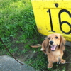 #dachs #lead #dog walk #ダックス #ミニチュアダックスフンド #リード #散歩
