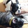 #spike collar #frenchie #french bulldog #スパイク首輪 #フレブル #フレンチブルドック