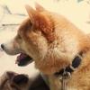 #日本犬 #柴犬 #ロールレザー #首輪 #leather collor #shiba #japan dog