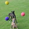 #italiangreyhound #dogtoy #ball #イタリアングレーハウンド #ボール #おもちゃ