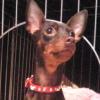 #dog #minipin #miniaturepincher #spike #犬 #ミニピン #ミニチュアピンシャー #首輪 #スパイク