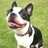 #dog #boston #bostonterrier #spike #collor #犬 #ボストンテリア #ボステリ #スパイク #首輪