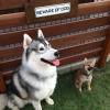 #BEWARE OF DOG #看板 #猛犬注意 #bewareofdog #シベリアンハスキー #ハスキー #柴犬