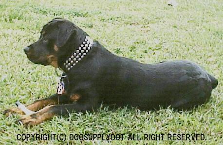 ロットワイラー,大型犬,レザー,本革,スタッズ,首輪,アメリカ製品