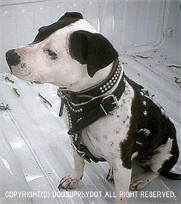 中型犬,レザーハーネス,胴輪,スタッズ鋲,牛本革使用,アメリカ製