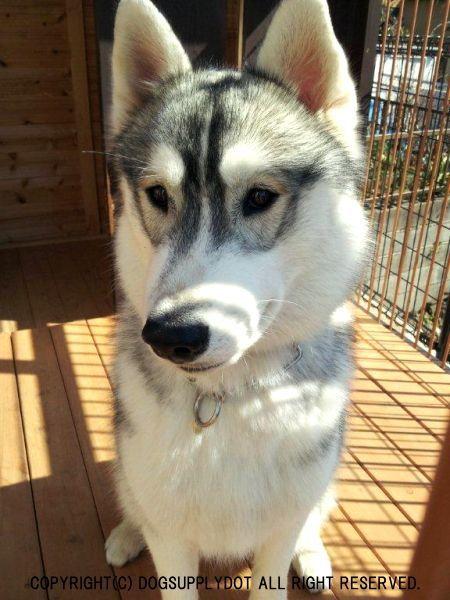 エリプスリング チョークチェーン:シベリアンハスキー(中型犬)