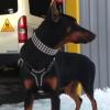 #dog #dorberman #black #leather #犬 #ドーベルマン #ハーネス #首輪 #レザー #スタッズ