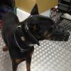 #dog #dorberman #black #leather #muzzle #collor #star #犬 #ドーベルマン #チェーン #首輪 #レザー #マズルガード #星