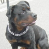 #dog #rottwairer #spike #choke #犬 #ロットワイラー #スパイクチョーク #チェーン