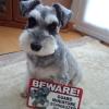 #dog #schnawzer #signboard #onduty #犬 #シュナウザー #サインボード #看板 #アメリカン