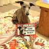 #dog #italiangreyhound #signboard #onduty #beware #犬 #イタリアングレーハウンド #イタグレ #サインボード #看板 #アメリカン