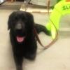 #dog #lab #labrador #lead #leather #犬 #ラブ #ブラックラブ #黒ラブ #ラブラドールレトリバー #リード #レザー
