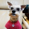#dog #schnawzer #ID #nametag #犬 #シュナウザー #迷子札 #ネームタグ