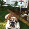 #dog  #bulldog #signboard #warning  #犬 #ドーベルマン #ブルドック #サインボード #看板 #スティック #番犬