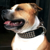 #staffordshirebullterrier  #black #leather #studds #スタッフォードシャーブルテリア #首輪 #レザー #スタッズ