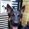 #germanshepherd #signboard #warning #securitydog #シェパ #ジャーマンシェパード #アメリカ #看板 #サインボード