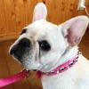 #frenchbulldog #collor #spike #pink #犬 #フレブル #フレンチブルドック #スパイク #首輪