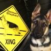 #germanshepherd #signboard #xing #ジャーマンシェパード #看板 #サインボード