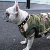 #frenchbulldog #collor #spike  #犬 #フレブル #フレンチブルドック #スパイク #首輪