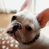 #dog #frenchbulldog #collor #spike #black #犬 #フレブル #フレンチブルドック #スパイク #首輪 #ブラック