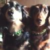 #dog #dachs #dachshund #spike #犬 #ダックス #ダックスフンド #スパイク #首輪