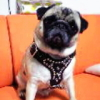 #pug #black #leather #harness #spike #studds #パグ #ハーネス #レザー #ブラック #スパイク #スタッズ
