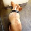 #dog #frenchbulldog #frenchie #spike #collor #犬 #フレンチブルドック #フレブル #スタッズ #スパイク #首輪