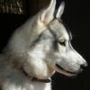 #dog #husky #collor #leather #犬 #ハスキー #レザー #首輪