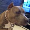 #pittbull #dogsign #USA #アメリカ看板 #犬看板 #ドッグサイン #ピットブルテリア