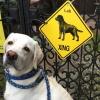#lab #labrador retriever #yellow lab #dogsign #xing #ラブラドールレトリバー #イエローラブ #犬看板 #ドッグサイン