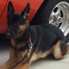 #german shepherd #lead #big dog #ジャーマンシェパード #シェパード #リード #大型犬
