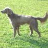 #dog #weimaraner #collor #heart #犬 #ワイマラナー #スタッズ #ハート #首輪
