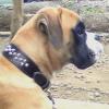 #dog #boxer #ボクサー #首輪 #スタッズ #レザー #犬