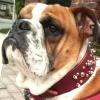 #dog #bulldog #spike #collor #犬 #ブルドック #スパイク #首輪