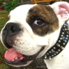#dog #bulldog #crystal #leather #犬 #ブルドック #クリスタル #首輪 #レザー