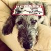 #dog #irishwolfhound #on duty #bigdog #signboard #サインボード #アイリッシュウルフハウンド #看板