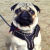 #dog #pug #犬 #パグ #レザー #ハーネス #スタッズ