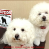 #bichonfrise #ビションフリーゼ #CAUTION #signboard #サインボード #amercan #アメリカン #看板 #犬 #dog